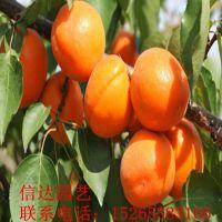 凯特金太阳杏树苗在哪里能买到?
