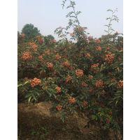 优质大红袍花椒树苗圃哪里有买的