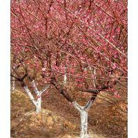 红梅树价格哪里便宜 江苏宿迁红梅树价格咨询热线
