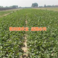 法兰地草莓苗种苗|太原法兰地草莓苗|乾纳瑞农业科技