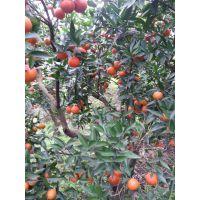 美国糖柑 柑桔苗 ,柑橘苗,柑桔种苗
