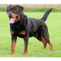 罗威纳犬幼犬的价格怎么购买罗威纳犬幼犬