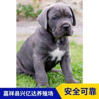 嘉祥县兴亿达幼年卡斯罗犬幼犬价格
