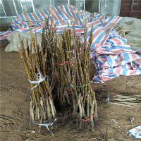 苗圃出售7公分核桃树 高分枝核桃树苗