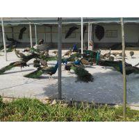 大型孔雀养殖基地供应种孔雀,孔雀苗