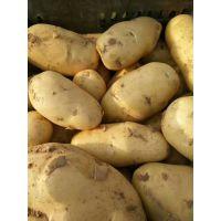 山东陆地荷兰土豆滞销中土豆便宜了