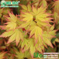 江西黄金枫树苗基地 三季观叶 园林绿化彩化工程树 种植黄金枫水肥管理