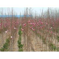 江苏红玉兰基地 现货批发1-2-3公分粗、1-2-3米高红玉兰小苗