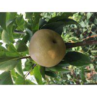 柱状梨 果大 成熟期晚的柱状梨树苗基地 矮化梨树苗品种