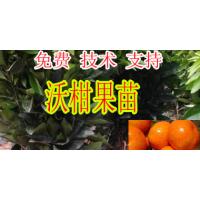 桂林哪家091无核沃柑苗基地比较好