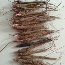 贵州赤芍苗供应产地赤芍苗批发