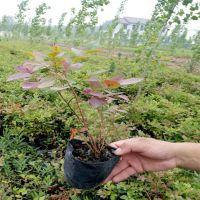 批发出售二年生蓝莓树苗 品种齐全价格低廉 山东蓝莓树苗种植基地