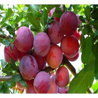 脆红李子树苗多少钱1棵