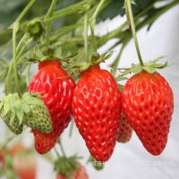 产家批发四季草莓 甜查理草莓苗 奶油法兰地盆栽草莓苗 当年结果