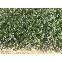 甜宝草莓苗供应 草莓苗市场批发价格