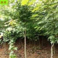 供应美国红枫树 树形直 3公分-10公分红枫树价格 日本秋火焰价格