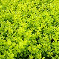 山东地被灌木基地山东绿化苗木基地一手供应