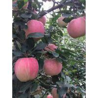 烟富6苹果苗今报价 3公分烟富6苹果苗单价