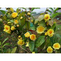金花茶的价格是多少 金花茶干花树苗种子盆栽盆景价格及规格图片