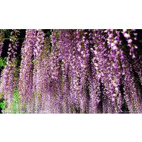 北京苗圃卖竹子,红枫,白玉兰,紫薇,银杏,承接绿化