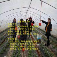 法兰地草莓苗回收