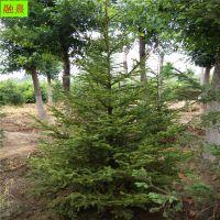 河北占地云杉 3 4 5米价格 规格齐全 风景树红皮云杉