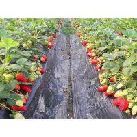 出售四季红树莓苗、草莓苗、蓝莓苗、灯笼果苗、红加仑苗、黑加仑苗