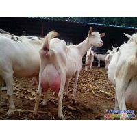 小奶羊多少钱一只 现在奶山羊多少钱一只 买奶羊多少钱一只