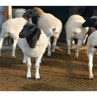 江西赣州哪有杜泊羊养殖场 杜泊羊多胎高产