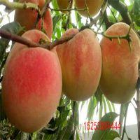 桃树苗品种推荐 红不软桃苗