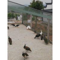中国孔雀养殖企业供应全国市场孔雀
