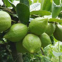 果场直供无籽香水柠檬、青柠檬、黄柠檬、各种柠檬树苗