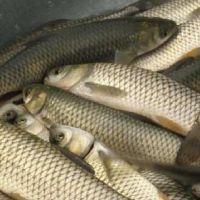【优质天津鱼苗批发】 兴谷养殖1两--1斤花鲢鱼苗出售 优惠促销