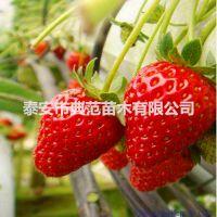 美香莎草莓苗价格 美香莎草莓苗 植株强旺适应性强