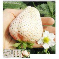 优质小白草莓苗种苗基地泰安瑞康苗木园艺场 小白草莓苗价格