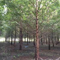 成都温江精品水杉基地水杉直销5-18公分降价出来一手货源树型好存活率高