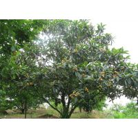 2-15公分枇杷树价格 枇杷树哪里有得卖