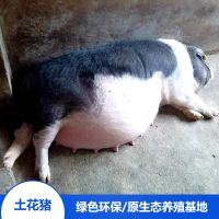 湖南宁乡流沙河名猪 农家土花猪母猪 野猪苗花猪宝宝 绿色生态养殖基地供应