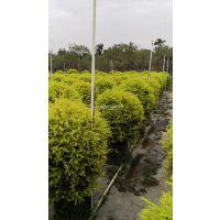 广西黄金宝树球大型种植场,广西黄金宝树球树冠美