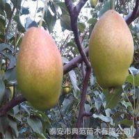 红香酥梨树苗批发价格 产地直销无差价 纯种优质红香酥梨树苗