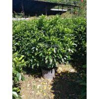 海南非洲茉莉价格,海南非洲茉莉园林树