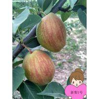 新梨7号梨树苗 极早熟新梨七号梨树苗新品种 果实口感佳