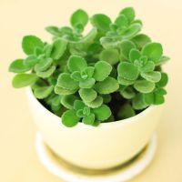 武汉绿植碰碰香盆栽,散发香气提神醒脑的小植物,武汉送货上门