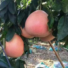 贵州三红蜜柚苗批发市场在哪里?哪里才有三红蜜柚苗