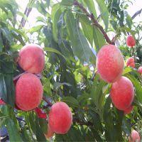 春雪桃树苗果苗 出售品种