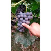 夏黑葡萄苗多少钱一颗 品种特点早熟抗病丰产耐储