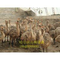 黑龙江鸵鸟养殖场、黑龙江鸵鸟养殖场、 哈尔滨鸵鸟养殖场
