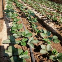 信森农业科技自繁自育脱毒二代草莓苗 基地直供法兰地草莓苗价格