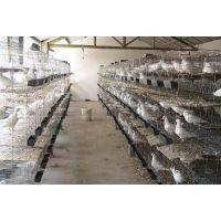 安平兴博直销4层16位联排肉鸽养殖笼具,镀锌钢丝鸽子笼行情
