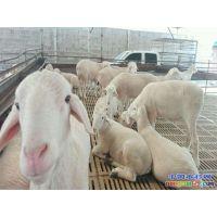小尾寒羊 河南小尾寒羊牧业 优种小尾寒羊 培育基地
